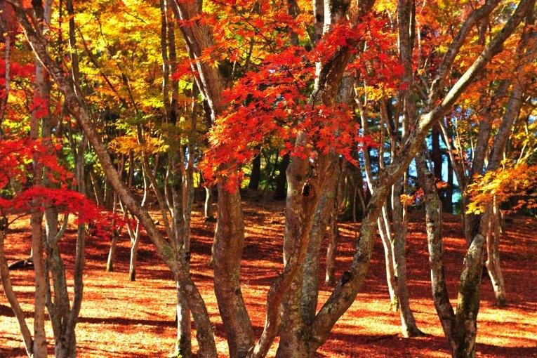 修善寺ともみじ林の紅葉