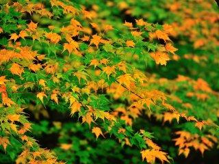 楓の種類は判らないが、緑と黄色のパターンはとても眼に優しくて印象的