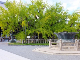 Beautiful ginkgo trees and a lotus-shaped water fountain