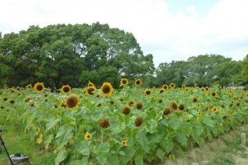 Sunflowers in Summer