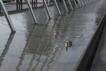 Ducks swimming in a fountain near museum