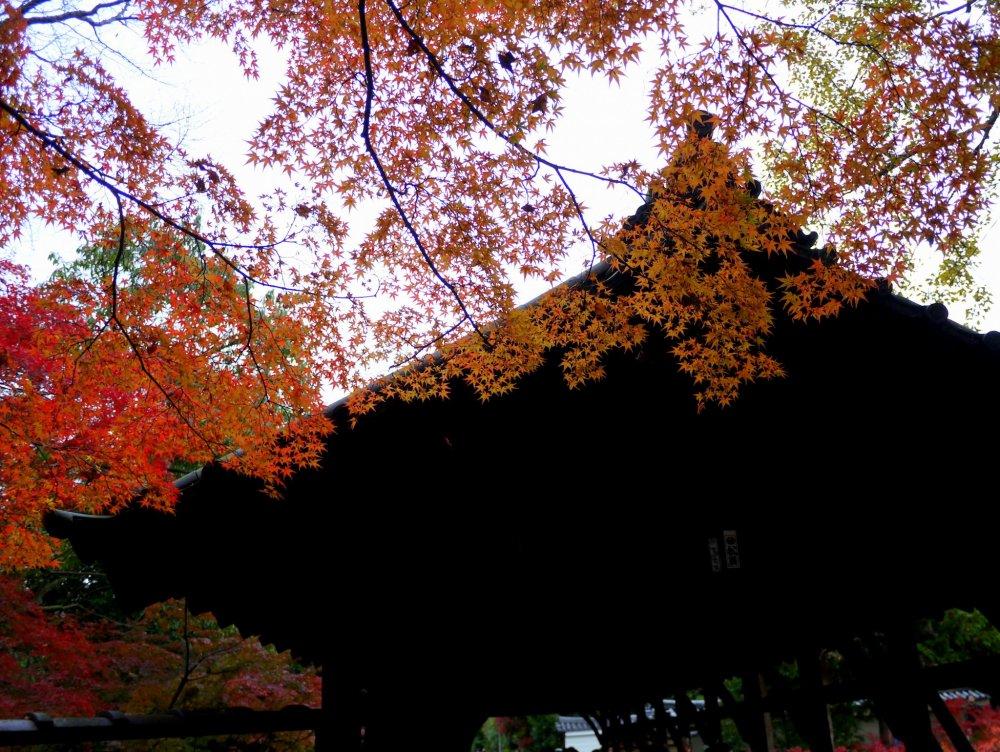 ใบไม้สีส้มสุดสวยกับไม้สีเข้ม