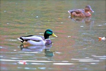 <p>Duck pond at Izumi Nature Park</p>