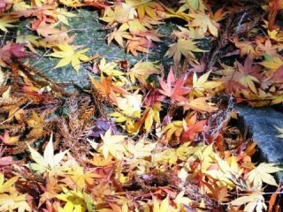 Maple leaves litter the ground near the main pool