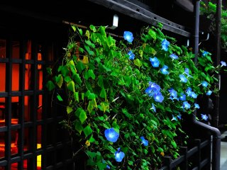 Warm light lit in the house with morning glory blooming in front of the window