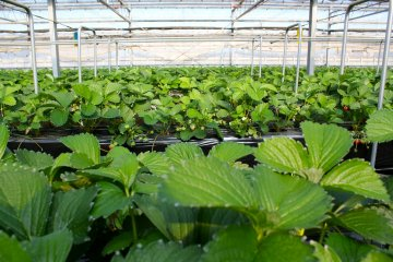 <p>The strawberry greenhouse is open for an all-you-can-eat pacakge from December to June</p>
