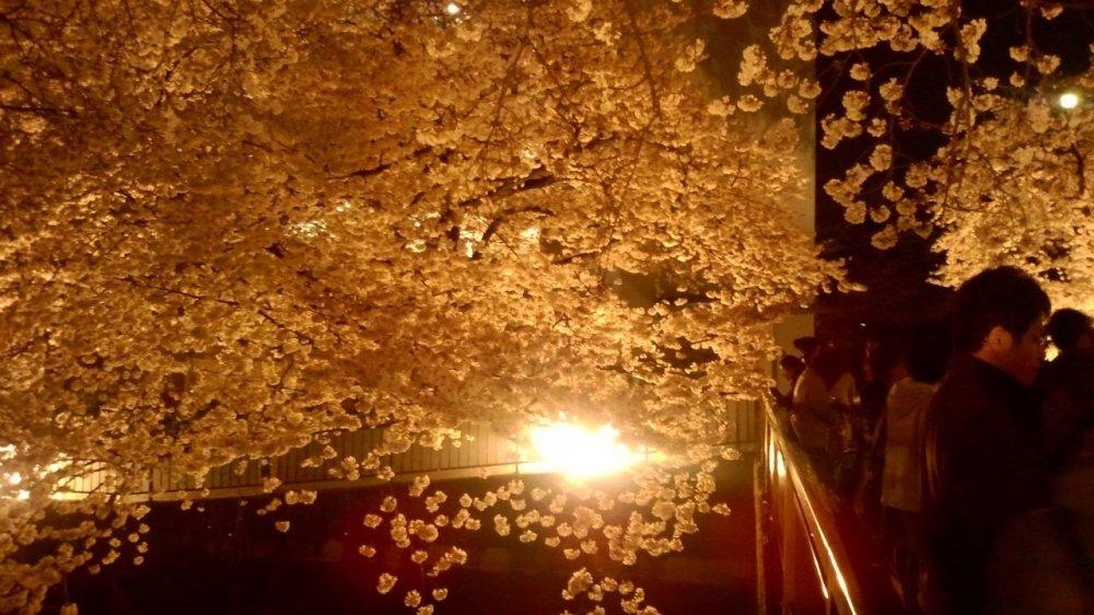 Ночная иллюминация делает цветение еще более сказочным