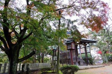 콘피라 사당 위쪽에 우뚝 솟은 거대한 단풍나무