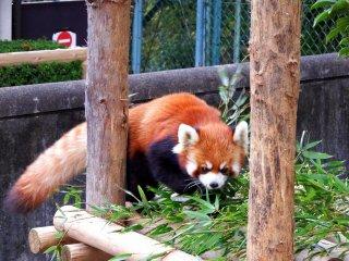Un adorable panda roux