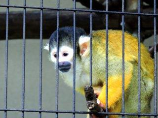Ce singe écureuil est un nouveau membre du zoo