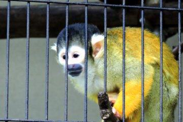 동물원의 새로운 멤버, 귀여운 다람쥐원숭이!