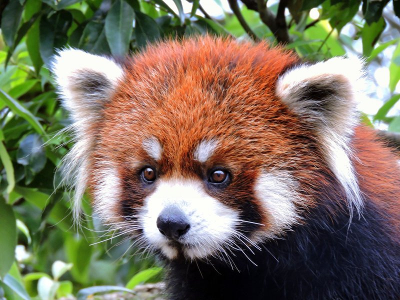 이 동물원에서 유명한 붉은 판다 중 하나이다. 정말 귀엽구나!