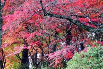 니시야마 공원 산허리에는 고풍스런 붉은 단풍잎이 있다