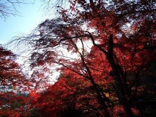 Árvores em vermelho vivo sob o sol de tarde