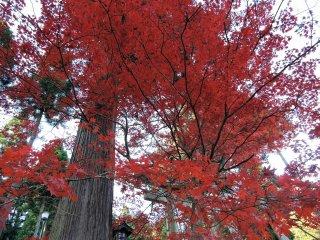 Um cedro alto e uma gigante árvore de bordo em vermelho