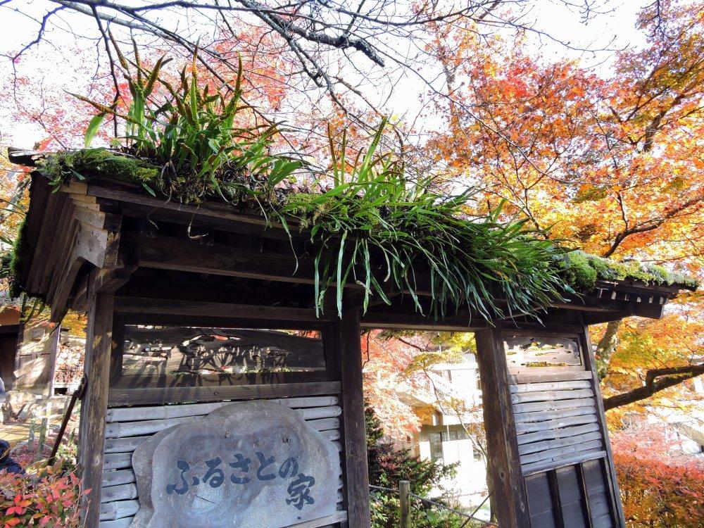 고향의 집 지붕에서 야생으로 자라는 이 잡초들 좀 봐!