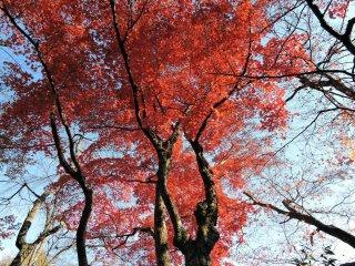 Folhas de bordo vermelhas dançam junto à Furusato-no Ie