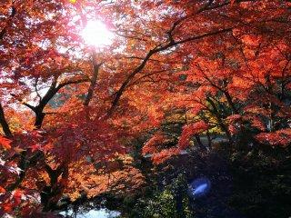 Folhas de bordo em vermelho ardente sob o sol de tarde em frente à Furusato-no Ie