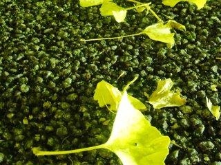Листья с деревьев Гинкго покрывают землю