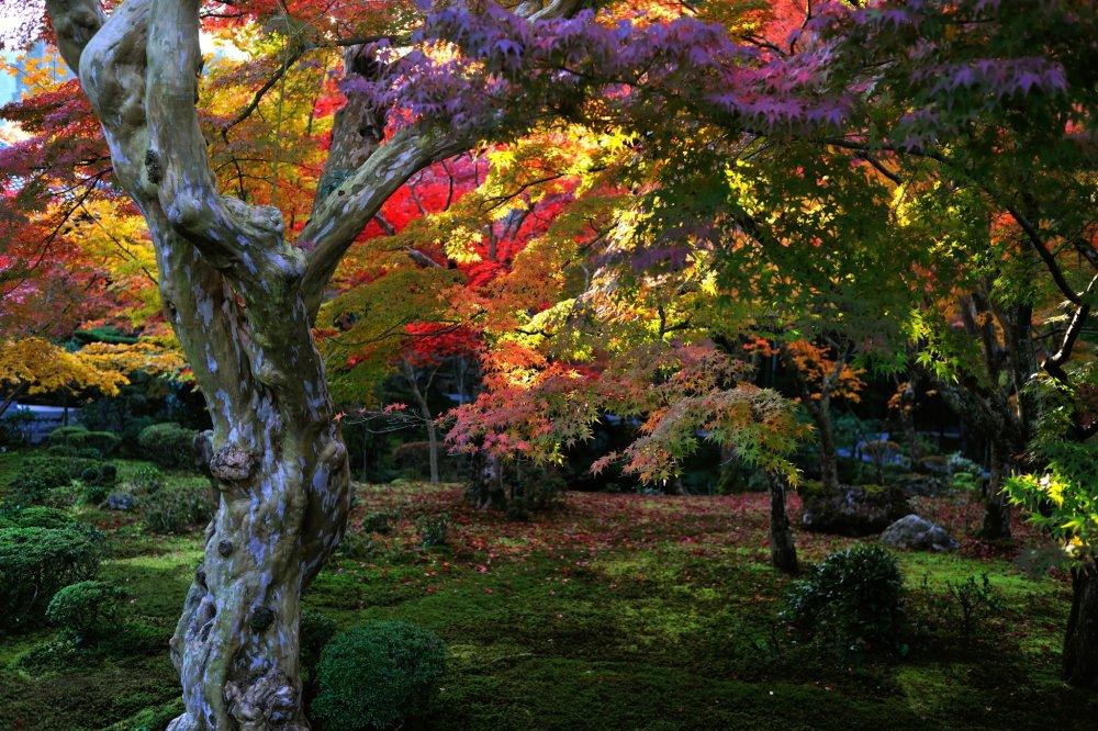 Kebun yang dilapisi oleh lumut halus dan pohon crape myrtle di depannya