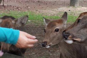 Memberi makan rusa sembari selfi.