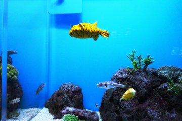 <p>A puffer fish in Shimonoseki&#39;s unique puffer fish tank</p>