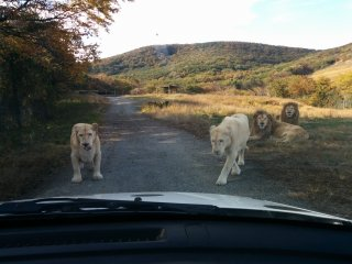 The hunter becomes the hunted. The white lions are closing in on my car