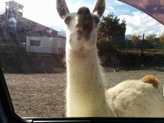 Consider using the rental car service to avoid having your own car soiled by licking llamas