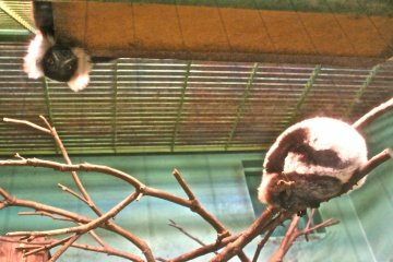<p>Do you see the Lemur peeking out from above? They are so curious and fun to watch as they play.</p>