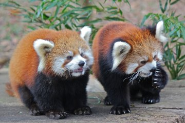 <p>Meet two of the Red Panda&#39;s Meimei and Meita</p>
