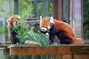<p>It&#39;s Futa! The beloved red panda by all in Japan. He has pointed ears and the shortest tail of the group.</p>