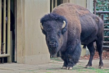 <p>An American Bison roams the Ancestors of Domestic Animals Zone</p>