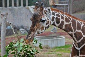 "Meet ""Satsuki the Giraffe."" Look at her beautiful long eyelashes."