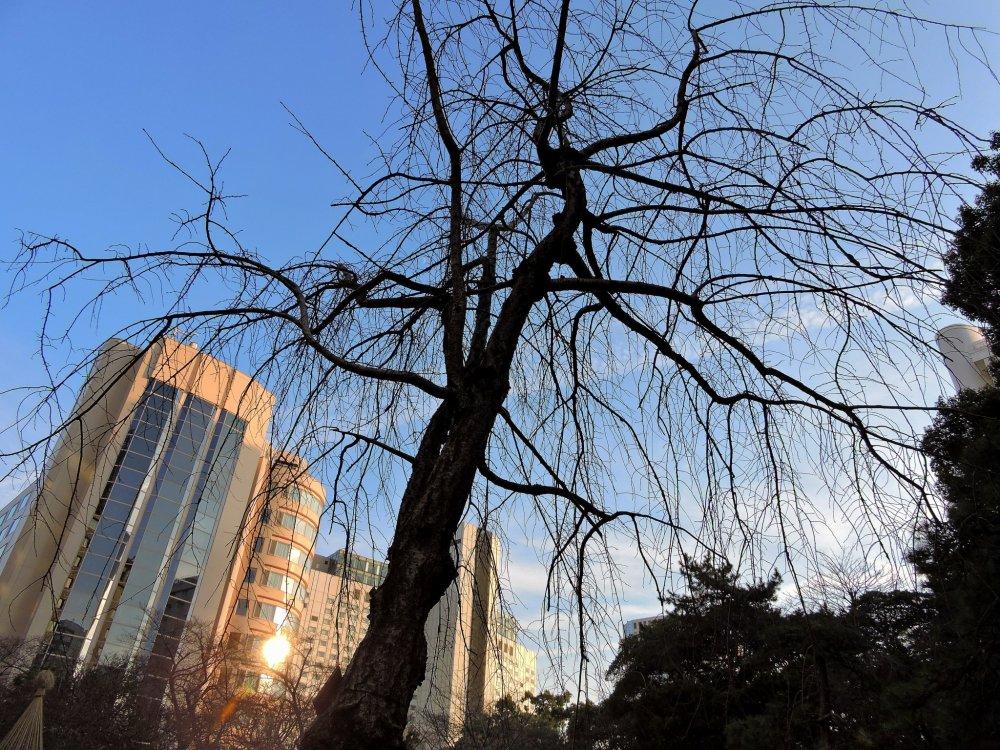Cerejeira chorona com um belo céu azul no fundo, no jardim japonês do Grand Prince Hotel New Takanawa