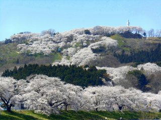 The view of the 1000 Cherry Trees at a Glance along Shiroishi River and the cherry blossom-laden hills in the background. It's just a short walk from JR Funaoka Station.