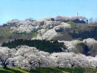 Khung cảnh 1000 cây anh đào dọc theo sông Shiroishi và những ngọn đồi hoa anh đào đầy xa xa phía sau, chỉ cách một đoạn đi bộ ngắn từ ga JR Funaoka.