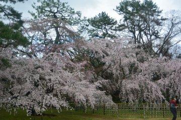 <p>Sakura trees at the Imperial Palace in Kyoto.</p>