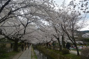 Sakura Trees form a beautiful canopy at the Philosopher's Path in Kyoto.