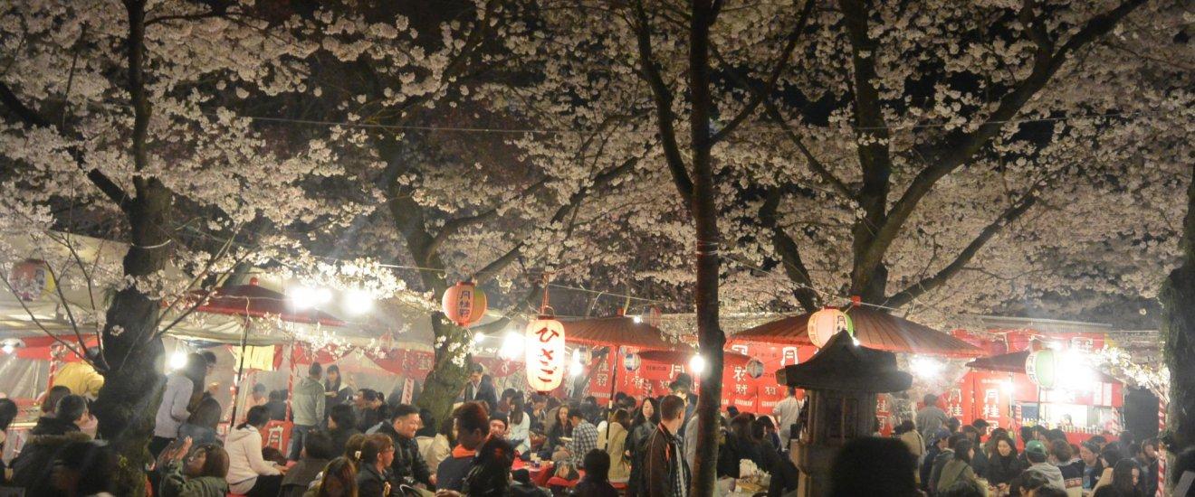 Suasana Hirano Jinja pada malam hari selama puncak mekarnya bunga sakura