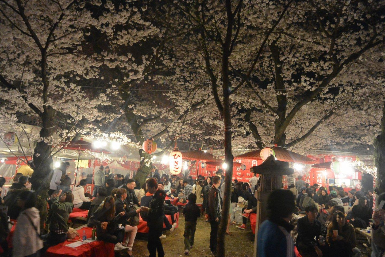 Hirano Jinjascene at night during peak of sakura cherry blossoms.