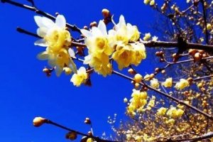 半透明の黄色い花は、まるで蝋細工のよう