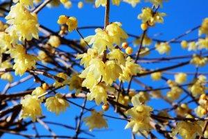 黄色く咲き乱れています