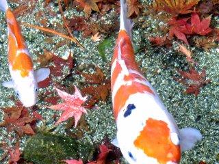 これはすごい・・・鮮やかな落葉に彩られた池を錦鯉が泳いでいる!