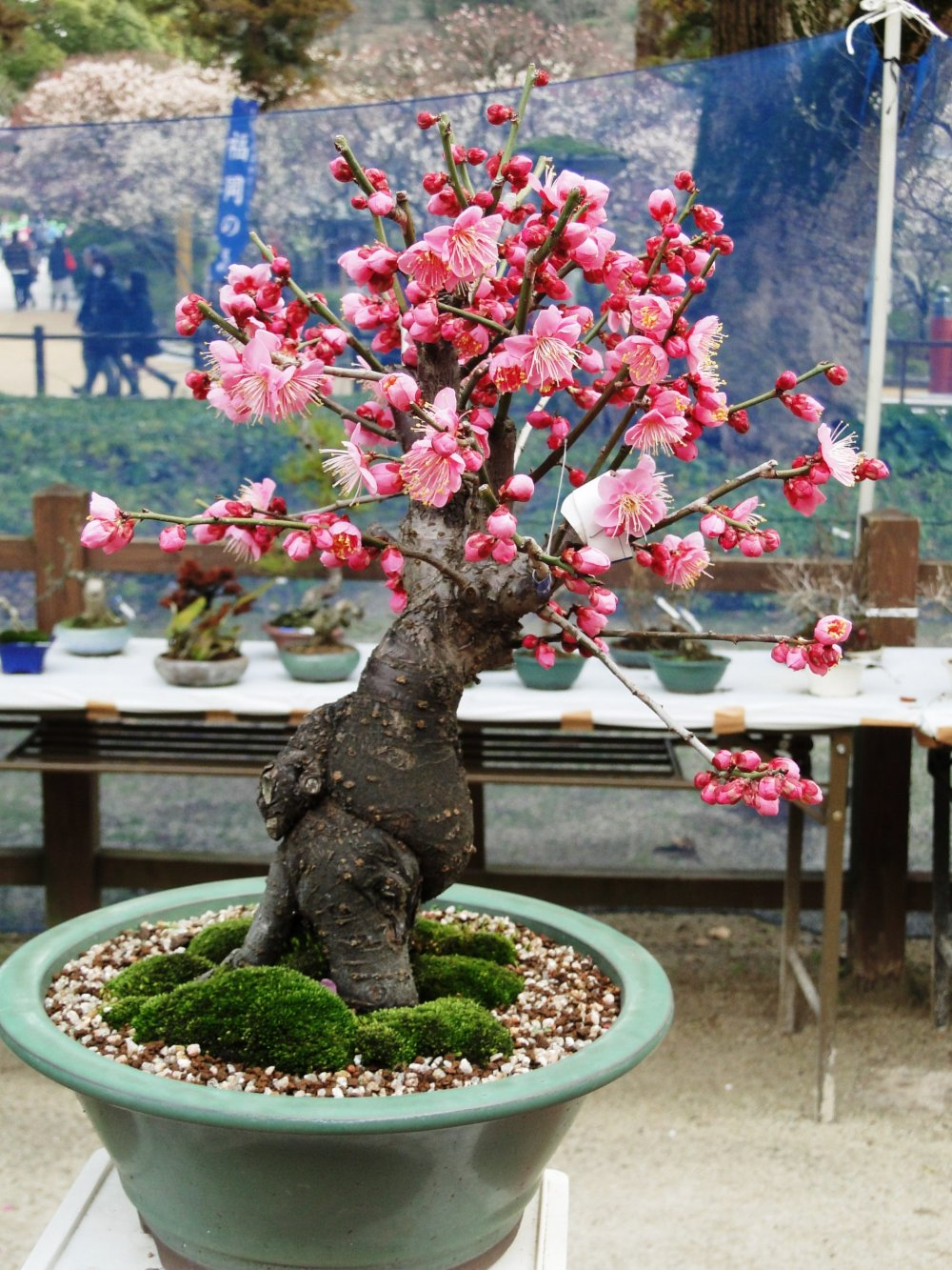 A plum tree pruned in the bonsai style