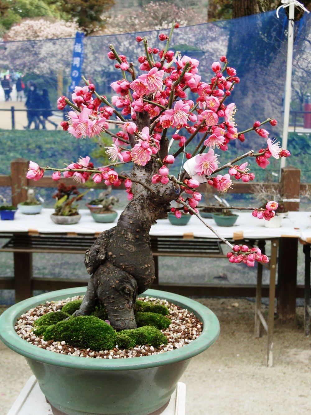被修剪成盆栽式的梅花樹