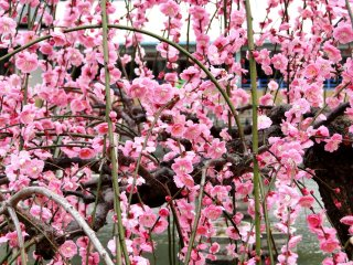 神社的池塘不滿的梅花樹