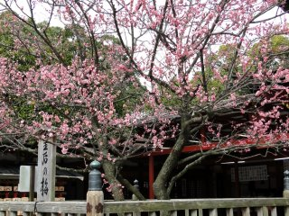 Most of the plum trees sport pink petals but the occasional white-petaled tree can be found