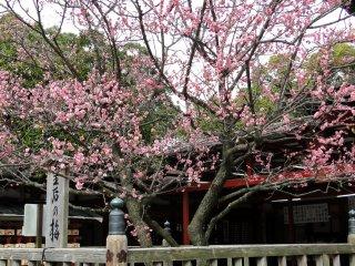 一般的梅花樹都是粉紅色花瓣但可以發現白色花瓣