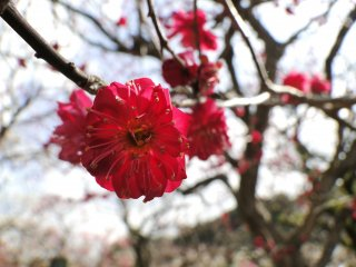One of the darker shades of plum blossoms on the shrine's grounds