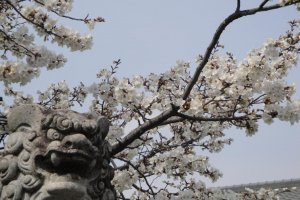 Guardian lion and sakura, near the Zen temple